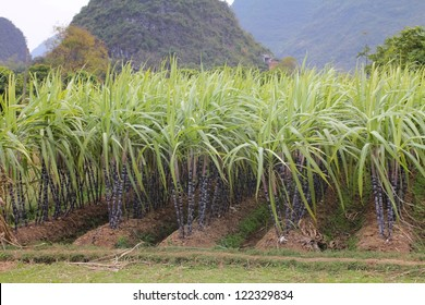 Rows of sugar cane in the Chinese countryside