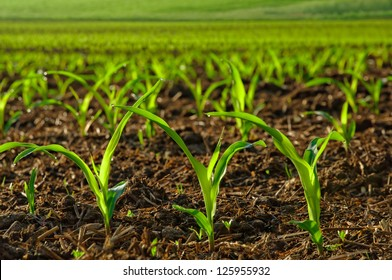 Rows of sunlit young corn plants on a moist field