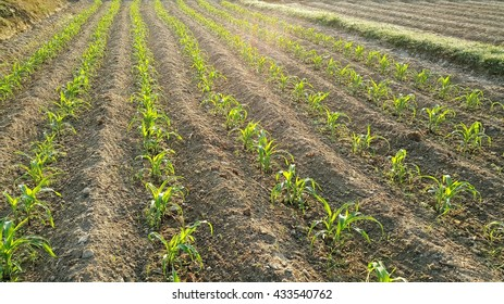 Rows of sunlit young corn plants on a field