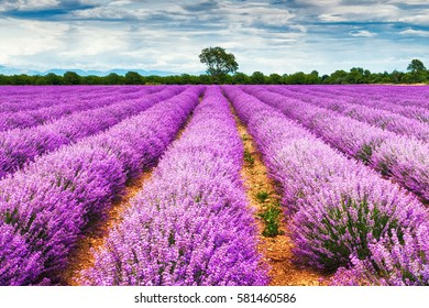 Rows of sunny lavender field
