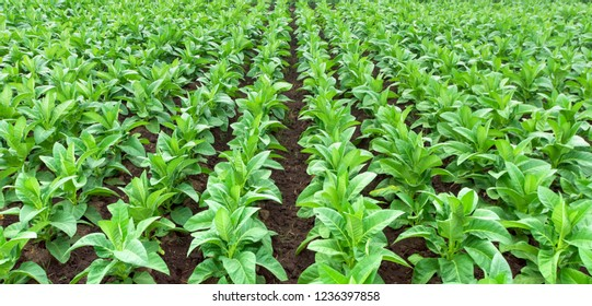 Rows of tabacco plants, farming in Indonesia