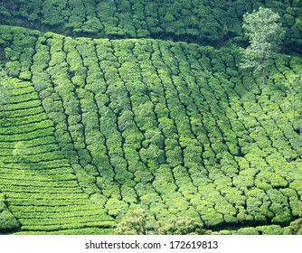 Rows of tea bushes at one of the most high altitude tea plantations in Munnar,India,Kerala
