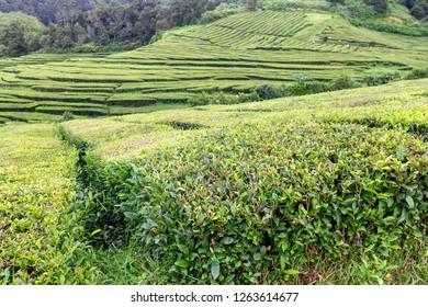Rows of tea at the Gorreana tea plantation in Sao Bras, Portugal.