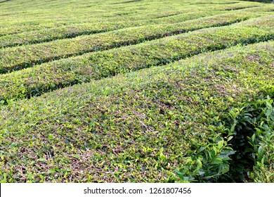 Rows of tea growing at the Gorreana tea plantation on Sao Miguel.