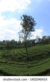 Rows tea plantation in Puncak West Java