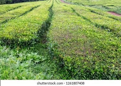 Rows of tea shrubs in the Gorreana tea plantation on Sao Miguel.
