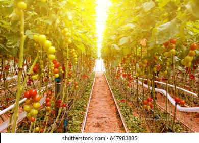 Rows of tomato hydroponic plants in greenhouse.Red tomatoes fresh on the tree, organic for good health. Red and green tomatoes ripening on the bush in a greenhouse of transparent polycarbonate.