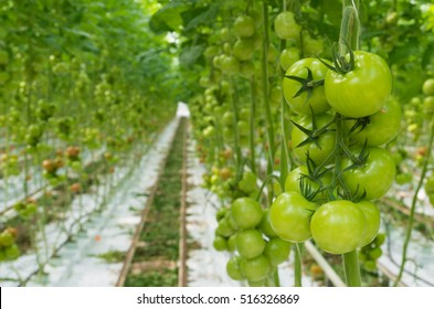 rows of tomatoes ripening in a dutch greenhouse