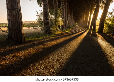 Rows of trees along a road in Tuscany, close to Follonica - 05/30/2016
