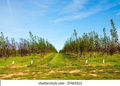 Rows of trees are stacked and lined up for growth at a tree farm nursery.