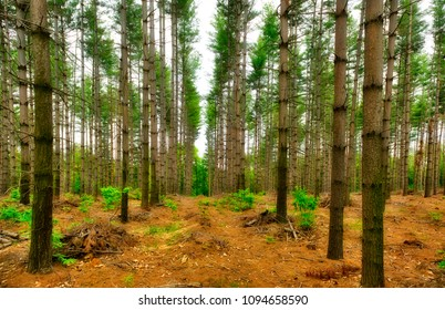 rows of trees in the woods with gray sky background