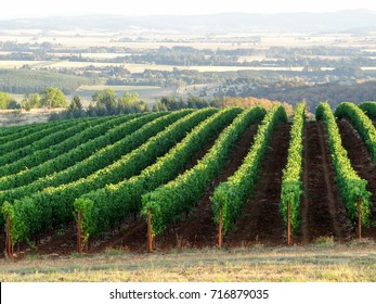 Rows of trimmed vines in summer lead the eye to the Oregon valley behind, green and lush.