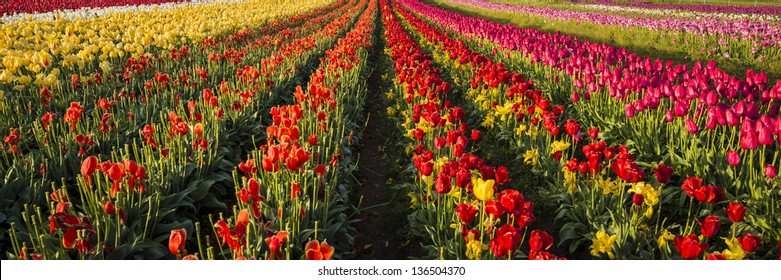 Rows of tulips on a far in Oregon's Willamette Valley