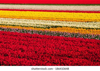 Rows of tulips on a field near Lisse, Netherlands.