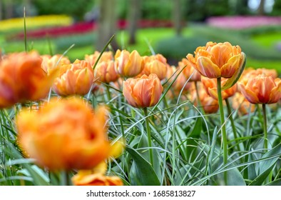 Rows of tulips and other flowers in a garden in the Netherlands.