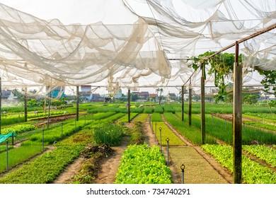 Rows of various vegetables being grown at Vegetable Village in Hoi An, Vietnam.