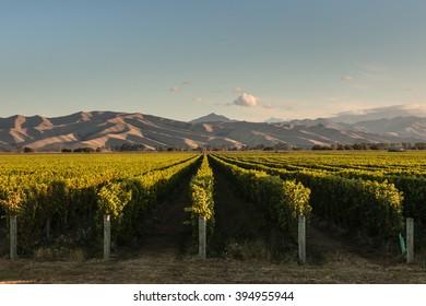 rows of vine in vineyard in New Zealand