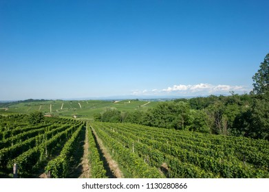 the rows of vines in full summer