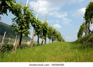 Rows of vines in the hills of Prosecco in Valdobbiadene, Italy