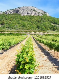 Rows of vines in the summer in a Provencal landscape.