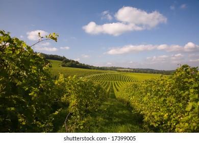 Rows of vines in a vineyard in summer