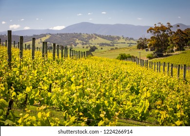 Rows of vines in a vineyard in the Yarra Valley, Victoria, Australia