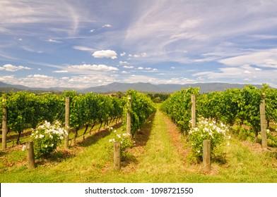 Rows of vines in a Yarra Valley vineyard - Yarra Glen, Victoria, Australia