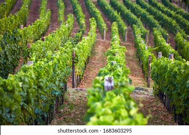 Rows of vineyard grape vines in Somló (Somlo) Hungary, one of the most famous and most interesting wine region in Hungary. Nature background.