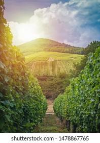Rows Of vineyard grape vines, sommer landscape. Vineyards of France