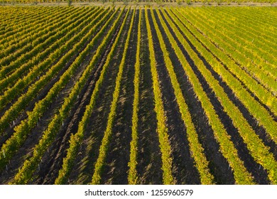 Rows in a vineyard, natural pattern above from a drone. Aerial view
