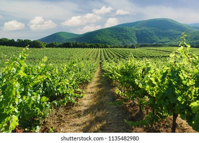 The rows of vineyards leaving in the distance against mountain slopes near the village of Abrau-Durso, Novorossiysk, Russia. Cloudy summer day