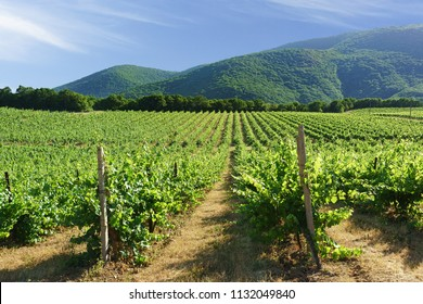 Rows of vineyards on the background of mountain slopes near the village of Abrau-Durso, Novorossiysk. Sunny summer day