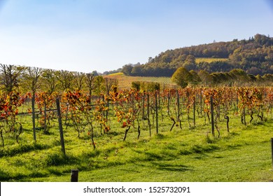Rows of vineyards in the Surrey hills of the north downs chalk landscape during late afternoon sunshine in autumn