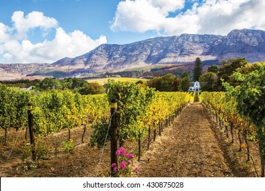 Rows of Vintage in the picturesque valley near Cape Town. This wine farm can be found south of the city in the Constantia valley situated at the foot of the Table Mountain range.