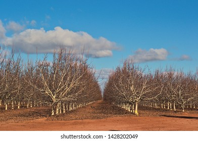 rows of wallnut trees in a rural plantation on a sunny day with clouds in the sky