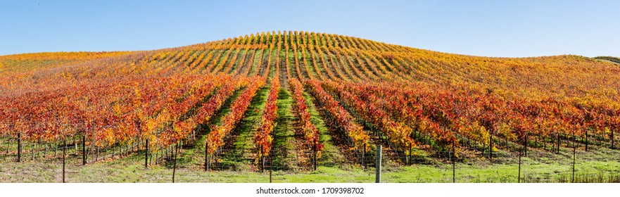 Rows of Wine Country Vineyards in Beautiful Autumn Colors of Red, Yellow and Gold in panoramic format.