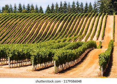 Rows of Wine Grape Vineyards on a Sloping Hillside