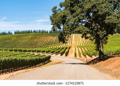 Rows of Wine Grape Vineyards, Road, Oak Tree, Sky