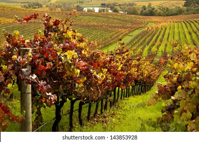 Rows of Wine Vineyards in Autumn Fall Colords
