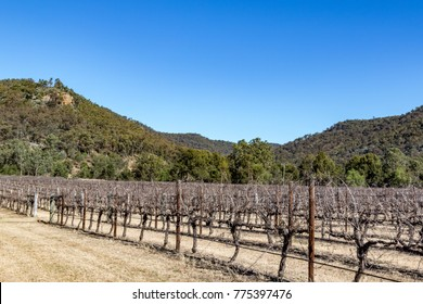 Rows of winter dormant grapevines under blue sky