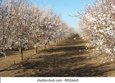 Rows within an almond orchard in full bloom