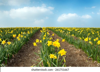 Rows of yellow Daffodils in a field