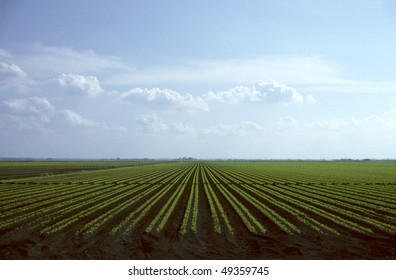 Rows of young carrot plants growing in field