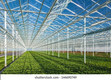 Rows of young geranium plants in a greenhouse