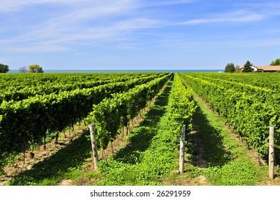 Rows of young grape vines growing in Niagara peninsula vineyard