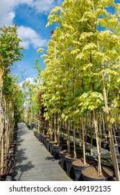 Rows of young maple trees in plastic pots. Alley of trees in plant nursery.