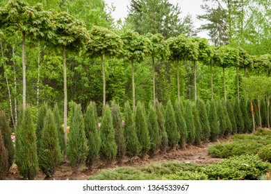 Rows of young maple trees, thuja plants and juniper bushes. Alley of seedling of trees, bushes, plants at plant nursery.