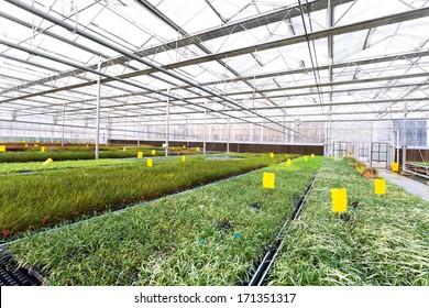 Rows of young plants in a greenhouse