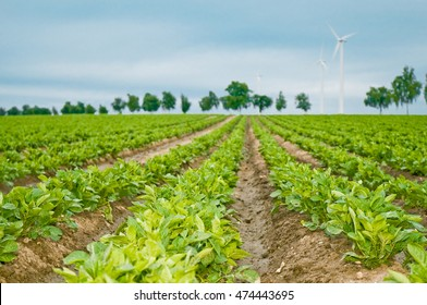 Rows of young potato plants; Potato growing; Agricultural landscape in North Germany; Food production; Farming