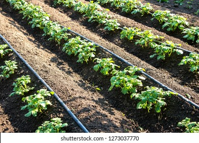 Rows of young potatoes plants and drip irrigation in the garden - selective focus, copy space